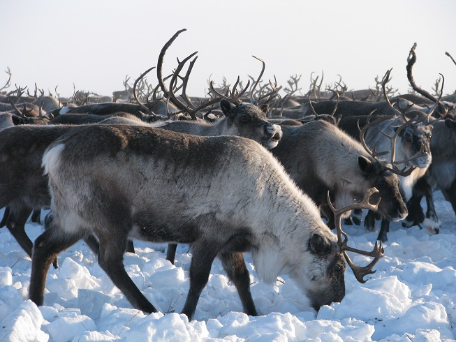 Norwegian consumers want to eat more reindeer meat
